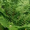 Interrupted Fern (Osmunda claytoniana)