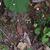 Common Bluets (Houstonia caerulea)