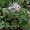 Allegheny Stonecrop (Hylotelephium telephioides)