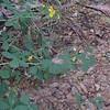 Yellow Wild Indigo (Baptisia tinctoria)