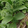 False-hellebore (Verarum viride)