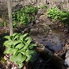 False-hellebore (Veratrum viride) and Skunk Cabbage (Symplocarpus foetidus)