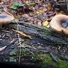 Bay-colored Polypore fungus (Polyporus badius)