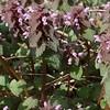 Purple Dead-nettle (Lamium purpureum)