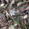 Round-lobed Hepatica (Anemone americana)