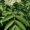 Common Elderberry (Sambucus canadensis)