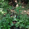 Lettuce Saxifrage (Micranthes micranthidifolia)