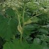 Cow-parsnip (Heracleum maximum)