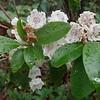 Mountain Laurel (Kalmia latifolia)