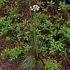 Turkeybeard (Xerophyllum asphodeloides)