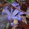 Dwarf Iris (Iris verna)
