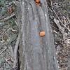 Cinnabar-red Polypore fungus(Pyconporus cinnabarinus)