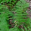 Hay-scented Fern (Dennstaedtia punctilobula)