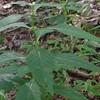 American Bugleweed (Lycopus americanus)