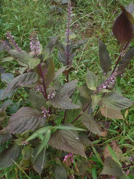 Beefsteak Plant (Perilla frutescens)