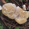 Sweet Tooth mushroom (Hydnum repandum)