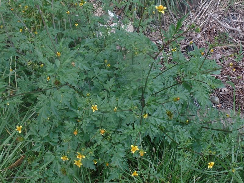 Spanish Needles (Bidens bipinnata)