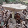 tbd mushroom