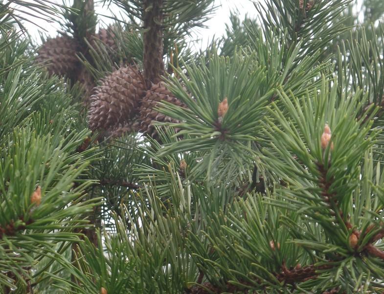 Table-mountain Pine (Pinus pungens)