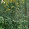 Tall Goldenrod (Solidago altissima)