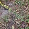 Erect Goldenrod (Solidago erecta)