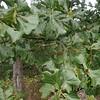 Blackjack Oak (Quercus marilandica)