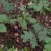 Tall Rattlesnake Root (Nabalus trifoliolatus)