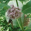 Silver-spotted Skipper butterfly (Epargyreus clarus) on Common Milkweed (Asclepisa syriaca)