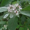 Hoary Mountain-mint (Pycnanthemum incanum)