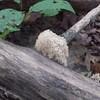 Crown-tipped Coral fungus (Clavicorona pyxidata)