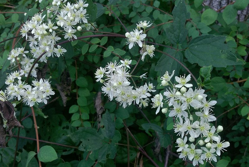 Virgin's-bower (Clematis virginiana)