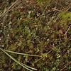 Pixie Cup lichen (Cladonia asahinae) and Hair Cap moss (Polytrichum)