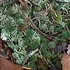 Haircap moss (Polytrichum)