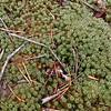 Atrichium moss