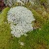 Reindeer lichen (Cladonia rangiferina) and Dicranum moss