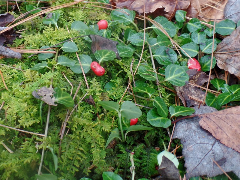 Partridgeberry (Mitchella repens) and Fern Moss (Thuidium)