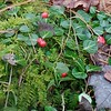 Partridgeberry (Mitchella repens) and Fern Moss (Thuidium)