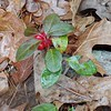 Teaberry/Wintergreen (Gaultheria procumbens)