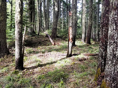 The forest in the ridge/saddle below Burnt Granite - where there wasn't downed trees is is pretty easy walking