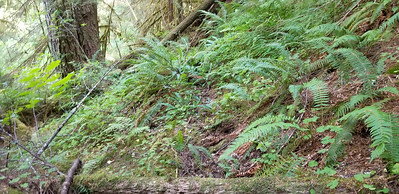 """This was the only """"tread like"""" place I found on the east side of Roaring River - but it was short and not definitive"""