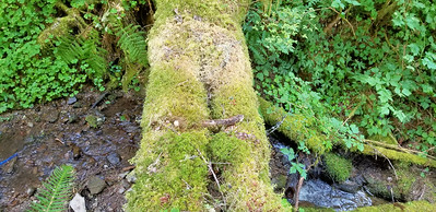 Cool natural log bridge on east side of Roaring river - although the logs were pretty rotten