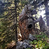 Interesting old stump on Fish Creek Mountain trail