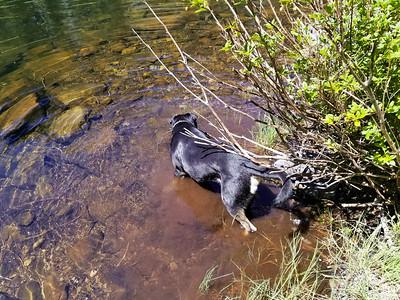 Thor playing in high lake on Fish Creek Mountain trail