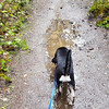Thor exploring the puddles on the trail