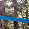 Ribbon from searching for lost hiker - This search occurred last week and they found him afeer  days.  On Salmon Mountain Trail