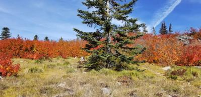 The Vine Maple was on fire - Rho Ridge Trail
