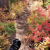 The fall colors were in full show - Rho Ridge trail - this was right before the meadow clearcut at the end of the trail