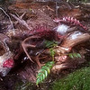 Recent deer kill on the way up the hill - Switch Creek trail
