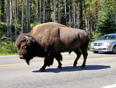 Bison Jam on the road
