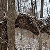 Chestnut Oak and Hackberry grown together